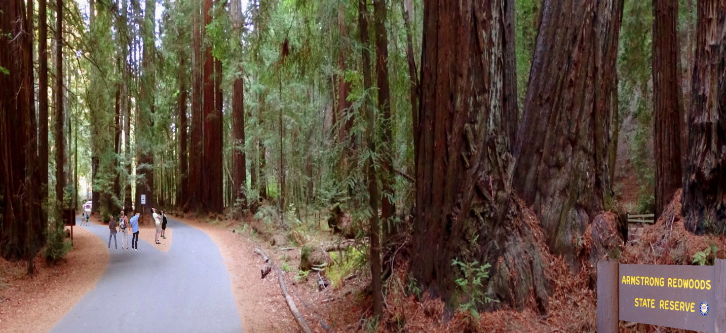 armstrong-redwoods-state-natural-reserve-forest-sequoias