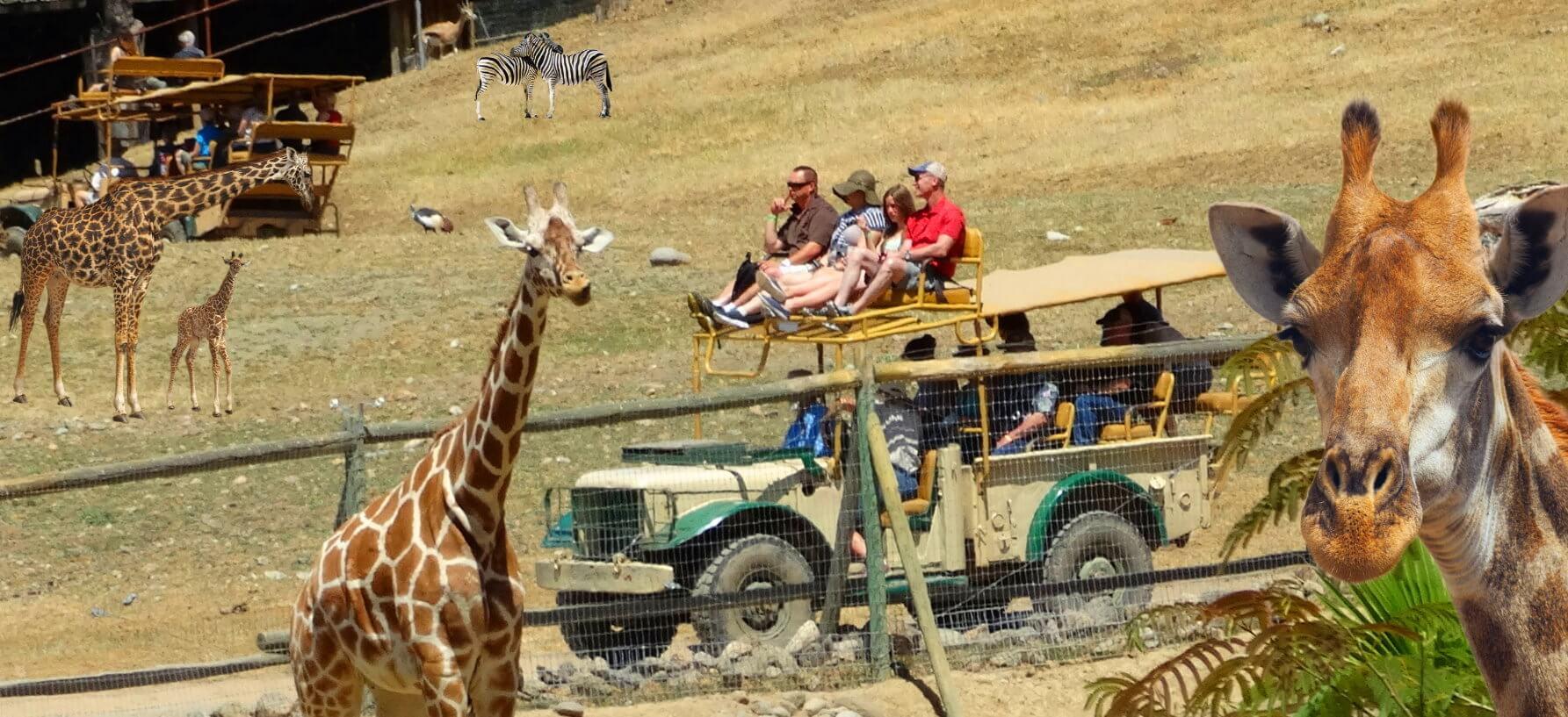 the_best_safari_west_jeep_tour_+_alcatraz_tickets