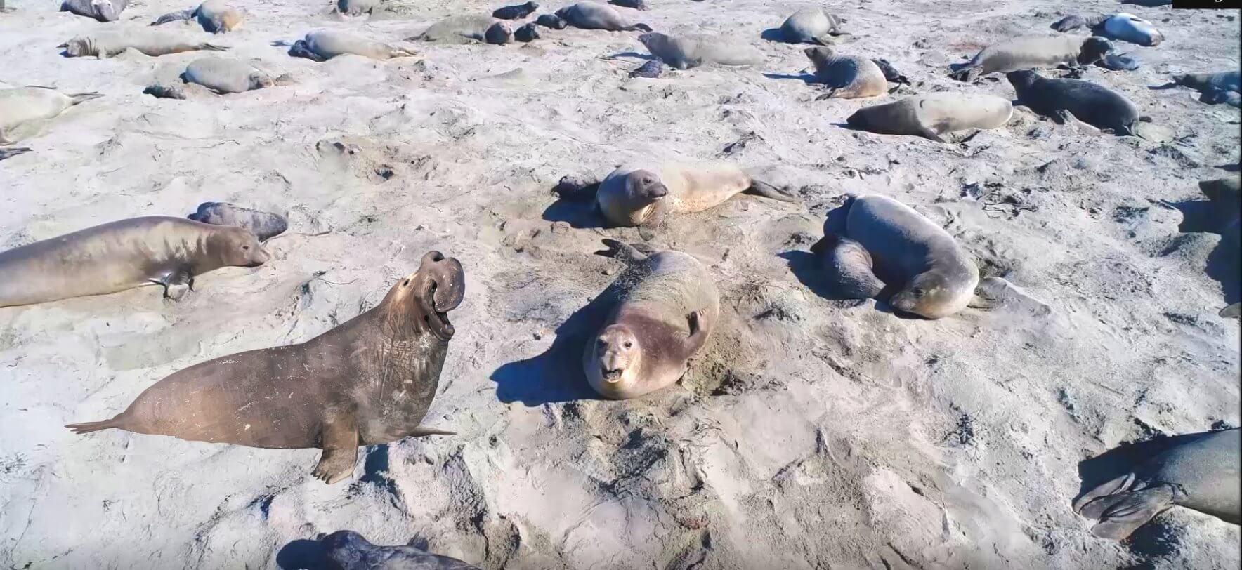 up_close_views_of_elephant_seals_on_california_coast_highway_beaches